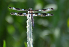 Libelle auf Anlage Lizenzfreies Stockfoto