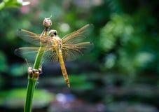 Libelle auf Anlage Stockbild