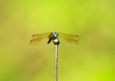 Libelle auf Antennen Stockfotografie
