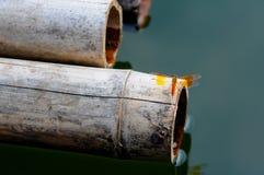 Libelle auf Bambusfloss Stockbilder
