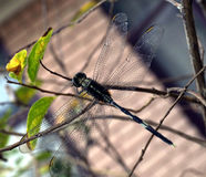 Libelle auf Baumzweig Stockfotografie