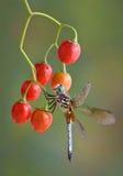 Libelle auf Beeren Stockbild