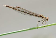 Libelle auf Betriebsstamm stockfotos