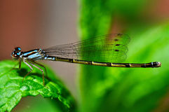 Libelle auf Blatt Lizenzfreie Stockfotos