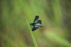 Libelle auf Blatt Lizenzfreies Stockbild