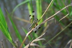 Libelle auf Blatt Lizenzfreie Stockbilder