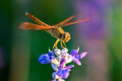 Libelle auf blauer Blume Lizenzfreies Stockbild