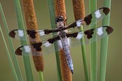 Libelle auf Cattails Stockfotografie