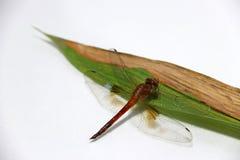 Libelle auf dem Bambusblatt auf dem weißen Hintergrund Lizenzfreie Stockbilder