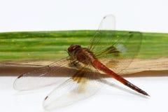 Libelle auf dem Bambusblatt auf dem weißen Hintergrund E Lizenzfreie Stockbilder