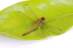 Libelle auf dem grünen Blatt und auf dem weißen Hintergrund es ist ein hoch aufgeschosses Raubinsekt des schnellen Fliegens Lizenzfreie Stockbilder