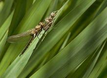 Libelle auf dem Gras Lizenzfreies Stockfoto
