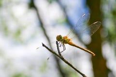 Libelle auf dem Rest Stockfoto