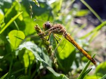Libelle auf dem Stamm Stockbilder