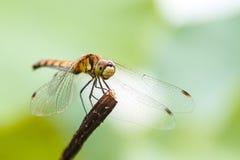 Libelle auf dem Stamm Stockfoto