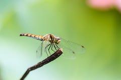 Libelle auf dem Stamm, ein schönes geflügeltes Insekt Lizenzfreie Stockfotos