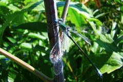 Libelle auf dem Stamm einer Anlage lizenzfreie stockbilder