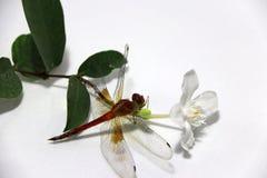 Libelle auf dem Stock der weißen Blume und des grünen Blattes auf dem weißen Hintergrund Stockbilder