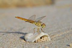 Libelle auf dem Strand Lizenzfreies Stockfoto