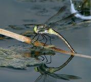 Libelle auf dem Wasser 2 Stockfotografie
