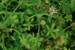 Libelle auf der Blume lizenzfreies stockfoto