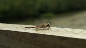 Libelle auf der Brücke - slowmotion stock video