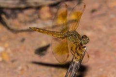 Libelle auf der Natur, Makro Stockbilder