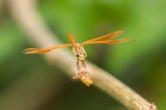Libelle auf der Natur, Makro Lizenzfreie Stockbilder