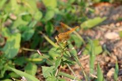Libelle auf die Oberseite der kleinen Knospenblume und auf dem Naturhintergrund Stockbild