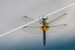 Libelle auf Draht Stockbilder