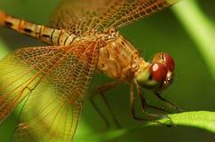 Libelle auf einem Blatt stockfotos