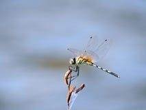 Libelle auf einem blauen Hintergrund Lizenzfreie Stockfotos