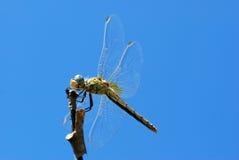 Libelle auf einem Dickicht Stockfoto