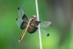 Libelle auf einem Glied in Balcones Canyonland lizenzfreie stockfotografie