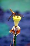 Libelle auf einem Lotos Stockfoto
