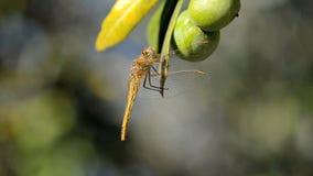 Libelle auf einem Olivenbaum stock video footage