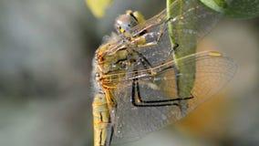 Libelle auf einem Olivenbaum stock video