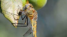 Libelle auf einem Olivenbaum stock footage