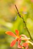 Libelle auf einem Orchideenstammabschluß oben Stockfoto