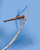 Libelle auf einem Steuerknüppel lizenzfreie stockfotografie