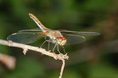 Libelle auf einem Zweig Stockfotografie