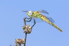 Libelle auf einem Zweig Stockbild