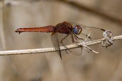 Libelle auf einem Zweig Stockfotos