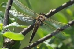 Libelle auf einem Zweig Stockbilder