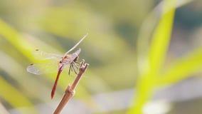 Libelle auf einem Zweig stock video footage