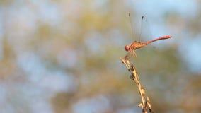 Libelle auf einem Zweig stock video