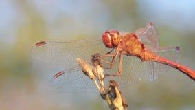 Libelle auf einem Zweig stock footage