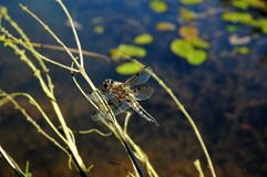 Libelle auf einem Zweig Stockfoto