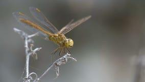 Libelle auf einem Zweig Zeitlupe in 96 fps Baum auf dem Gebiet stock video footage