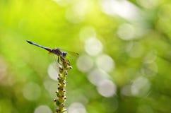 Libelle auf einer Anlage Lizenzfreies Stockfoto